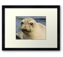 Northern Female Elephant Seal Framed Print