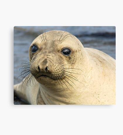 Northern Female Elephant Seal Canvas Print
