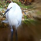 White Heron by naturelover