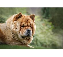 Chow-Chow  Photographic Print