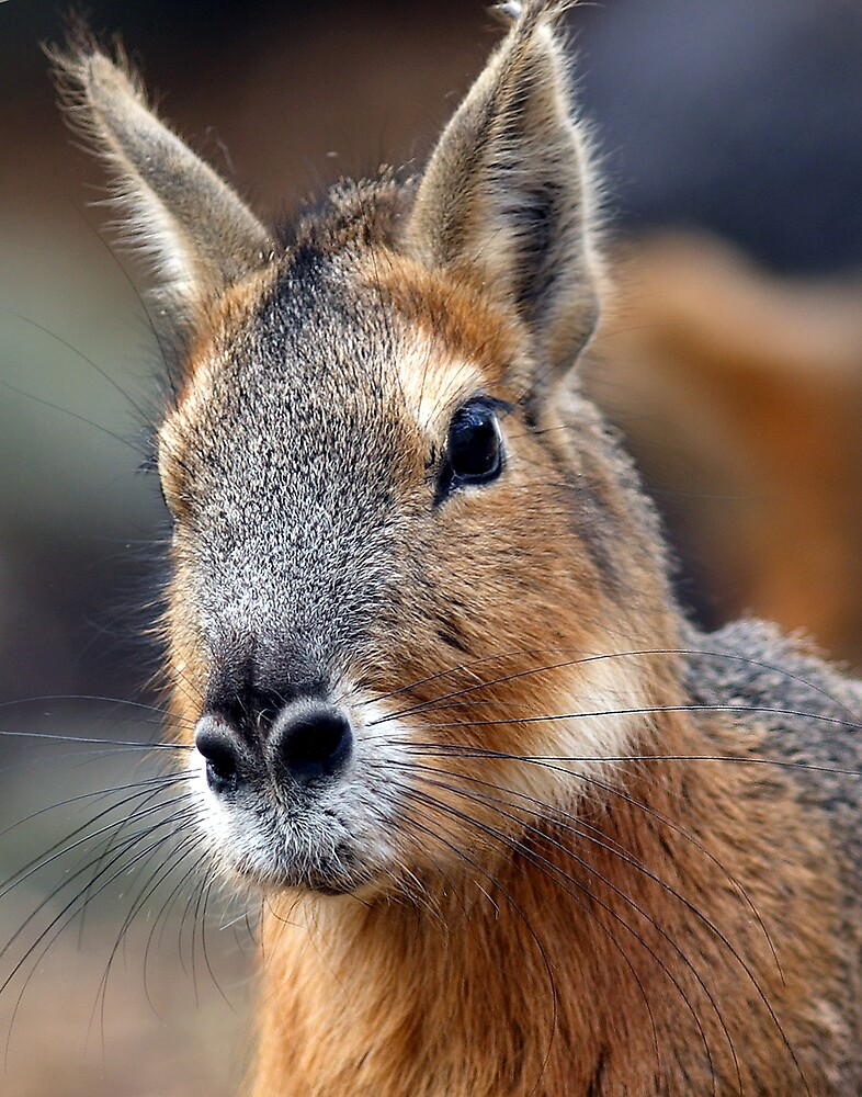 Mara: aka Patagonian Hare by kitlew