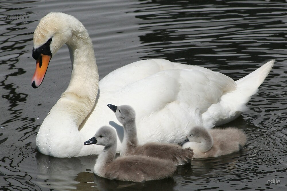 swan and cygnets by odile