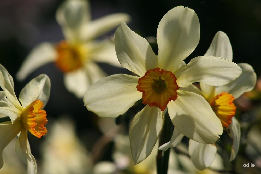 daffodiles by odile