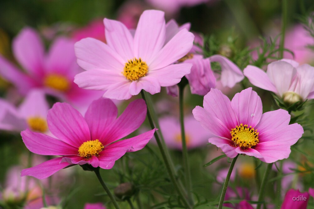 pink flowers by odile