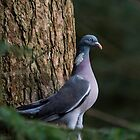 Wood Pigeon by M.S. Photography/Art