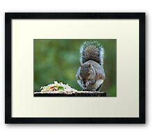 Grey Squirrel feeding Framed Print