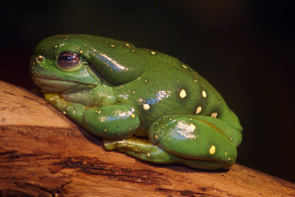 Green Tree Frog by Steve Broadley