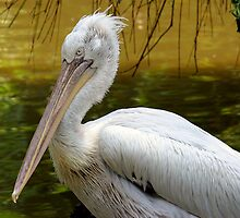 Pelican by kitlew