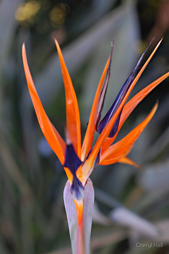 Bird of Paradise by Cheryl Hall