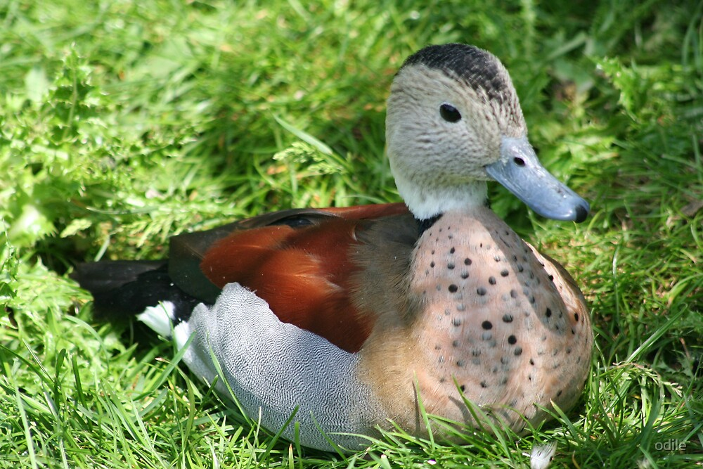 duck in sunshire by odile