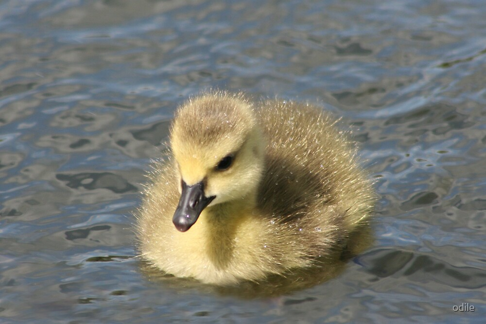 gosling on the river by odile