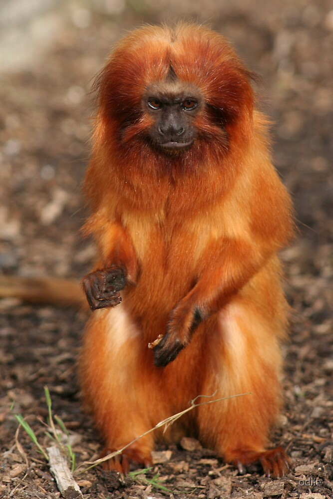golden monkey by odile