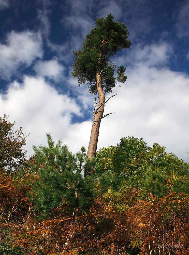 Lonesome Pine by Chris Cutler