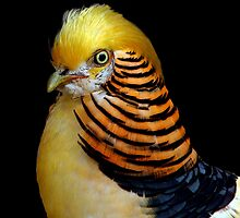 Yellow Golden Pheasant by CarolM