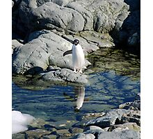 Reflecting Penguin Photographic Print