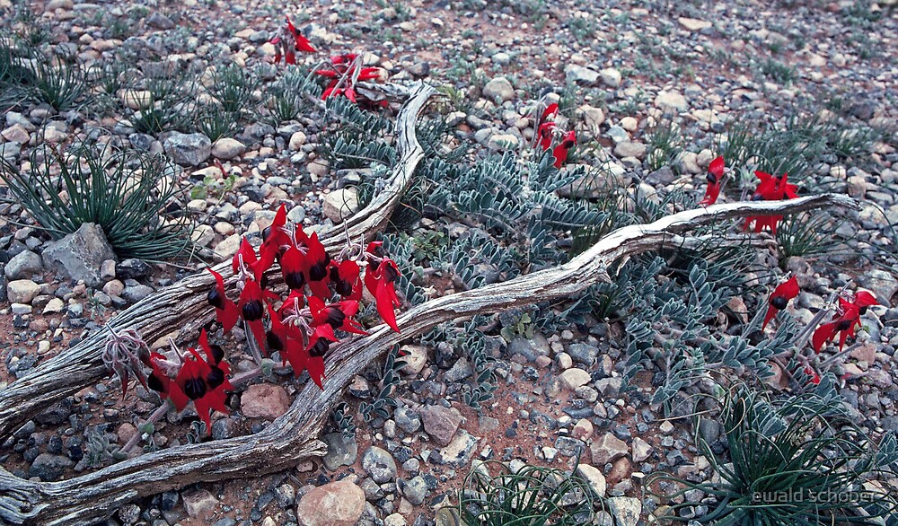 Sturt's Desert Pea by ewald schober