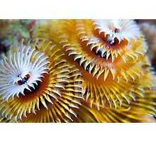 Christmas Tree Worm Photographic Print