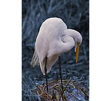 Great Egret in Concentration Photographic Print