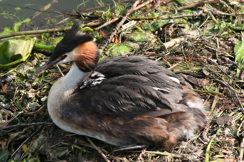 grebe with baby on its back by odile