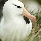Black-Browed Albatross by Steve Bulford