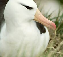 Black-Browed Albatross by Steve Bulford