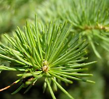 pine tree macro by deano777
