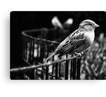 Birds in Madison Square Park, NYC Canvas Print