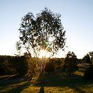 Sunset Tree-Kny Farm by Andrew Forster