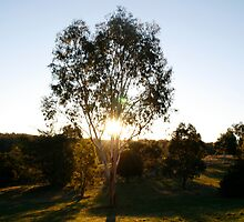 Sunset Tree-Kny Farm by Andrew Forster