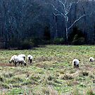 Grazing Sheep in Pennsylvania by AngieDavies
