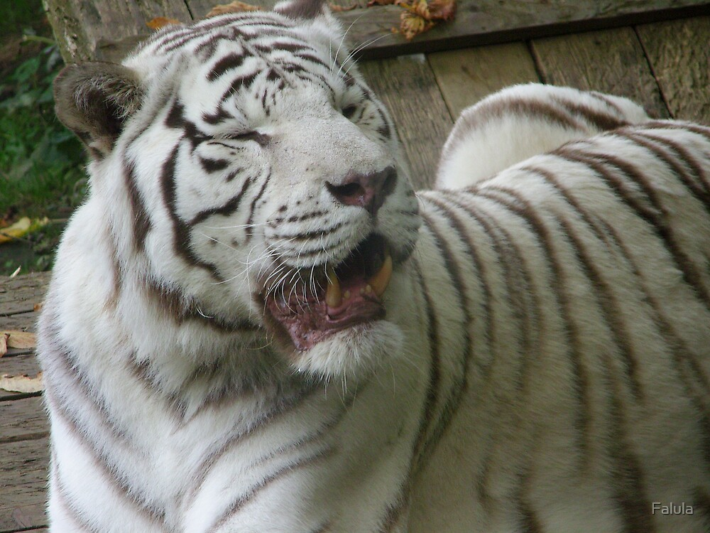 Tired White Tiger by Falula