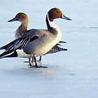 Mr. & Mrs. Pintail  by lorilee