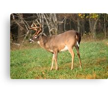 Whitetail Canvas Print