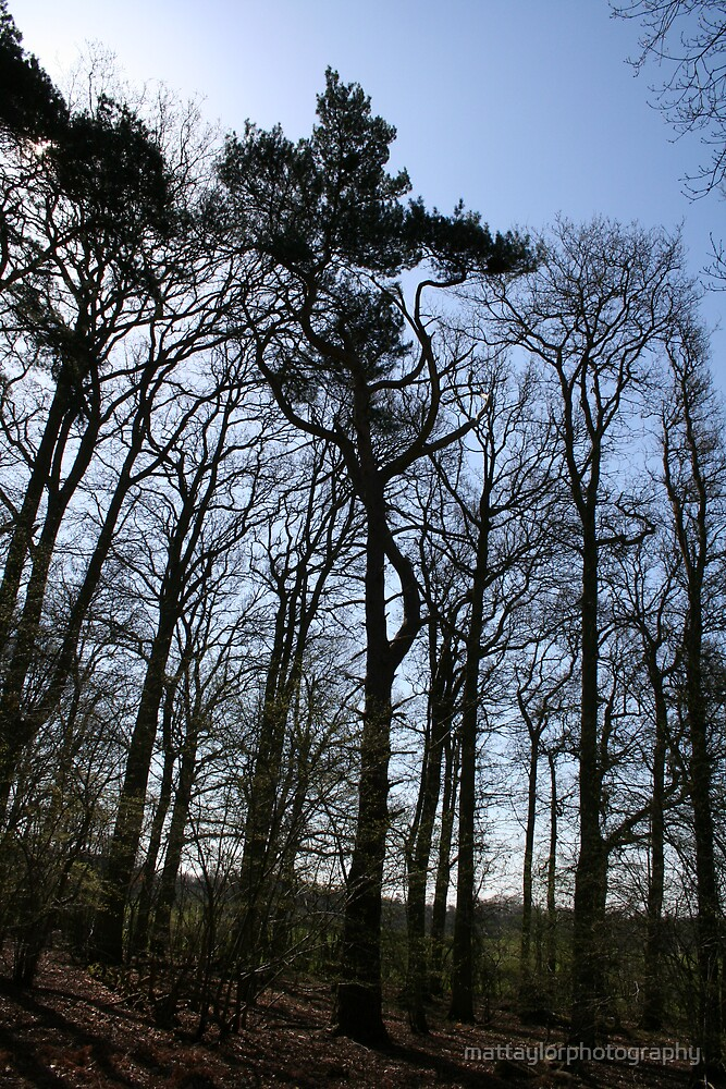 Trees From an English Forest by mattaylorphotography