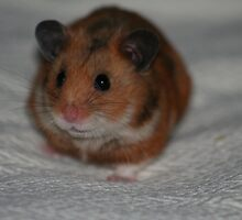 Hamster by mattaylorphotography