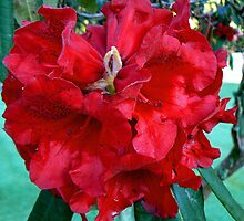 Red Rhodo by Graeme  Hyde