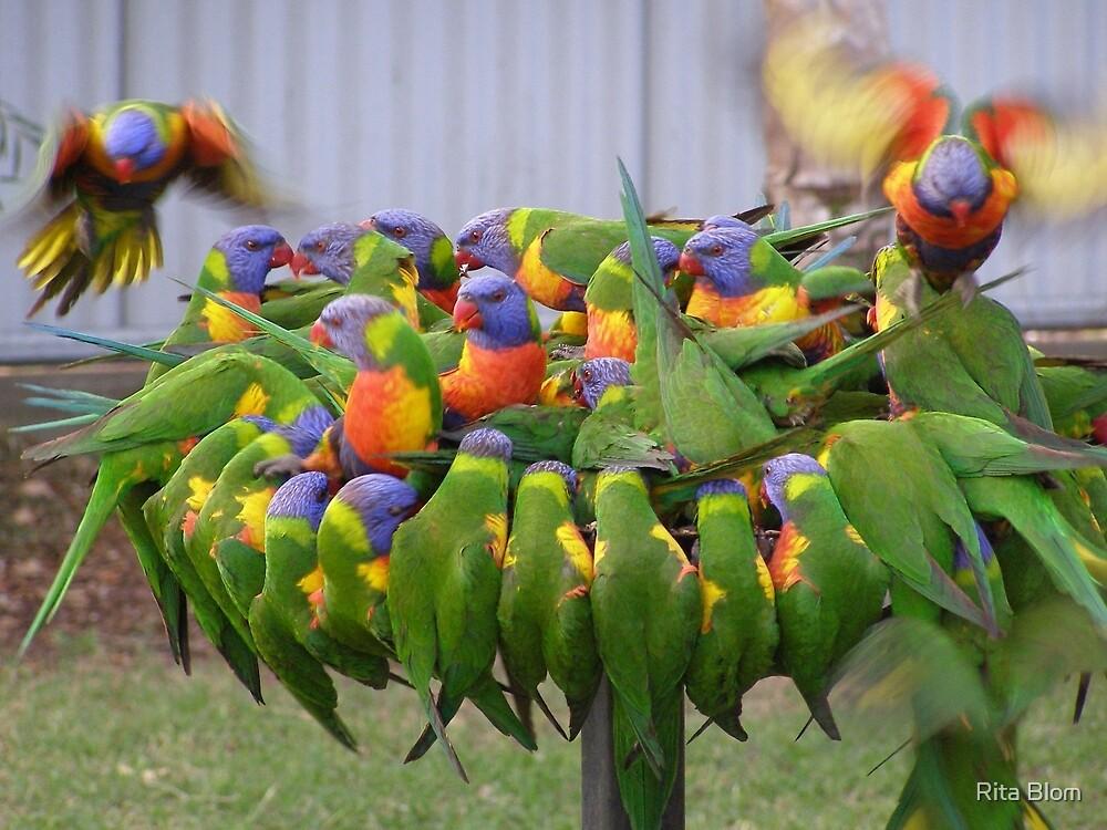 'Hey! make room for me!' Colourful Lorikeets feeding. Qld. by Rita Blom
