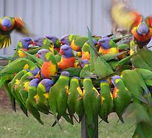 'Hey! make room for me!' Colourful Lorikeets feeding. Qld. by Rita Blom