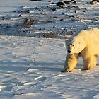 Polar Bear Walking in Footprints, Churchill, Canada by Carole-Anne