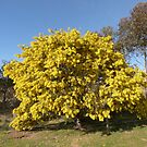 A sure sign of spring, 'Cootamundra Wattle' native,a paddock tree. by Rita Blom