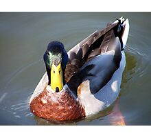Young Mr. Mallard Photographic Print