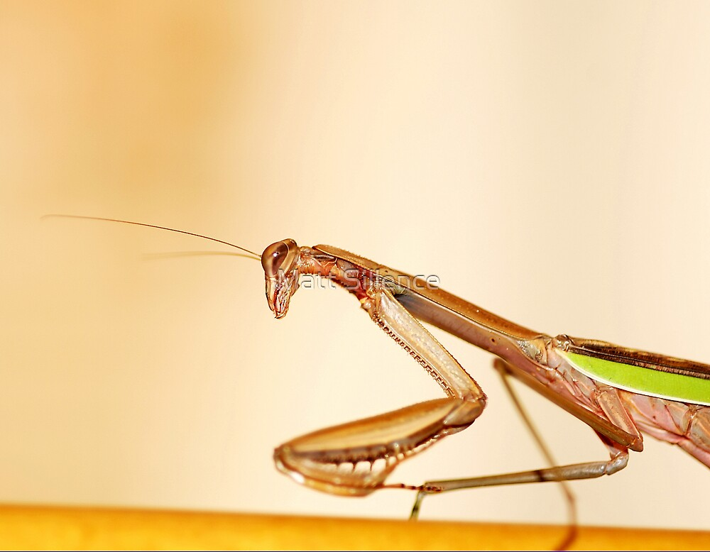 Praying mantis or alien by Matt Sillence