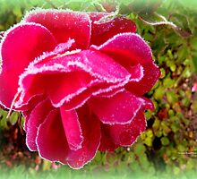Frosted Rose by Charmiene Maxwell-batten