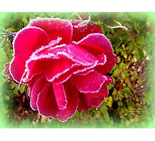 Frosted Rose Photographic Print
