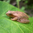 Spring Peeper by Michelle Jarvie