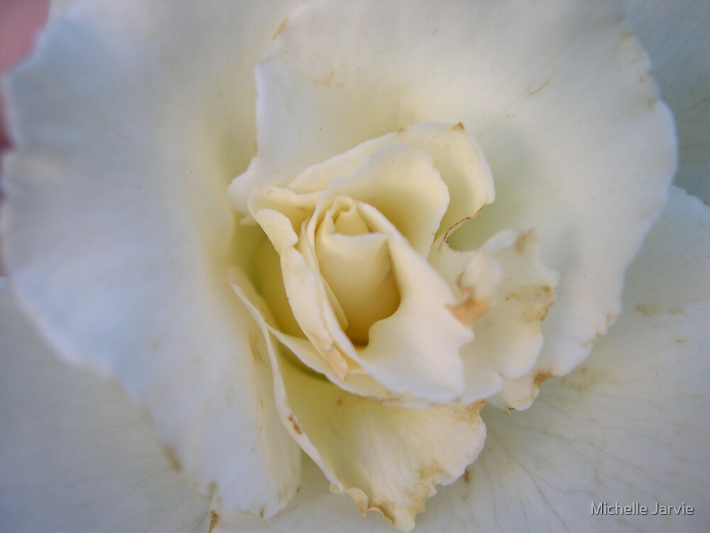 White Rose by Michelle Jarvie