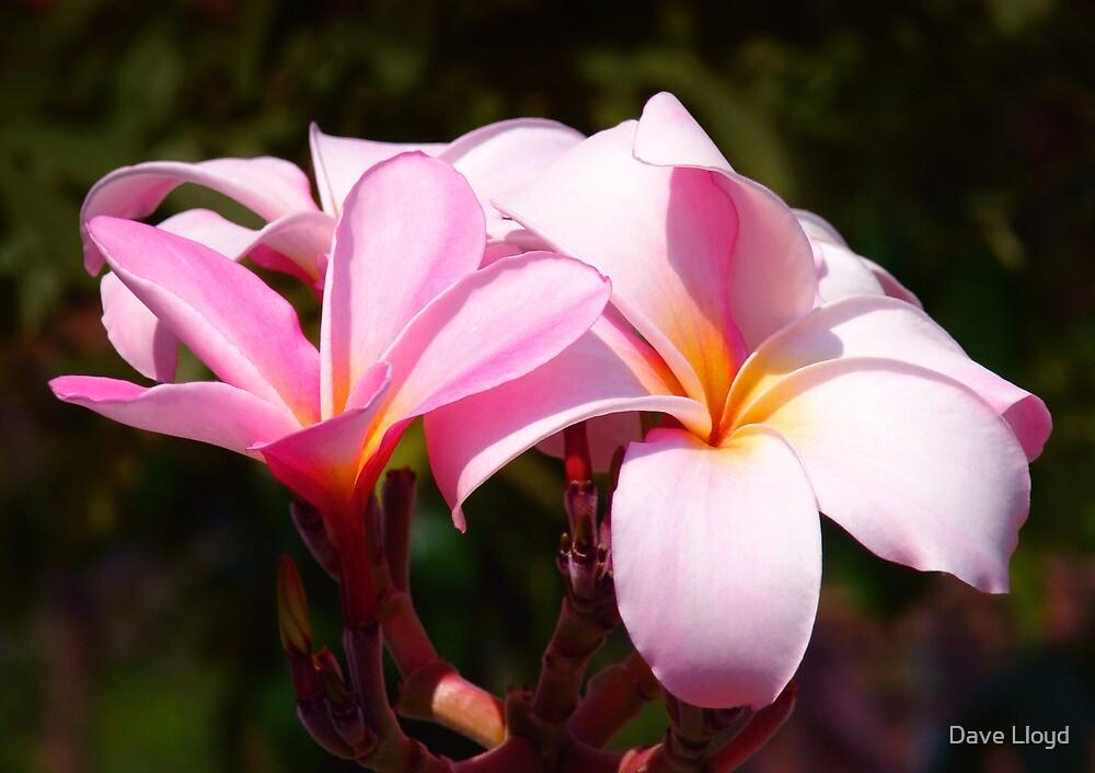 Pink Leelawadee by Dave Lloyd