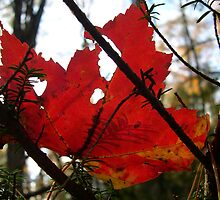 Red Maple Leaf by Michelle Jarvie