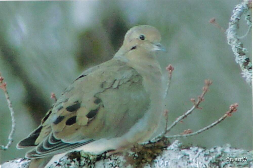 miss dove by StuartW