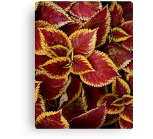 Coleus 'Scarlet Poncho' or Flame Nettle Canvas Print